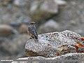 Rufous-tailed Rock-thrush (Monticola saxitilis) (30436249511).jpg