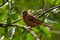 Rufous Flycatcher-Thrush - Uganda Budongo Uganda 06 4875 (17208949816).jpg