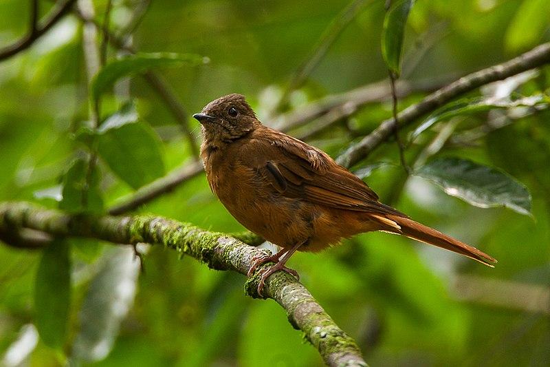 File:Rufous Flycatcher-Thrush - Uganda Budongo Uganda 06 4875 (17208949816).jpg