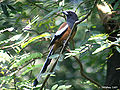 Rufous Treepie I1 IMG 5859.jpg