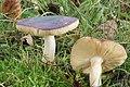 Russula cyanoxantha (31226607201).jpg