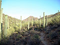 Saguaro Forest - Tucson Arizona - Relic38.JPG