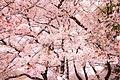 Sakura Kinuta Park (139250481).jpeg