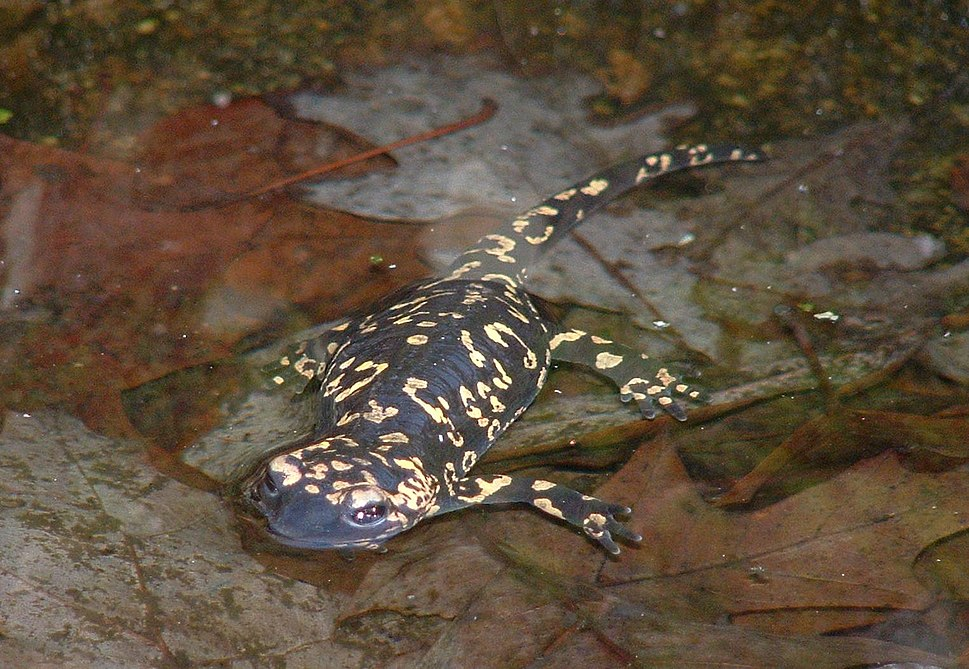 Salamandra salamandra gallaica1
