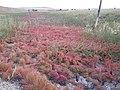 Salicornia rubra — Matt Lavin 004.jpg