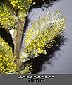 Salix cinerea (s. str.) sl12.jpg