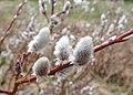 Salix lapponum kz10.jpg