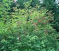 Sambucus racemosa ies.jpg
