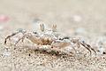 Sand bubbler crab - Khao Sam Roi Yot National Park (14472725357).jpg