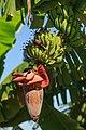 Sandakan Sabah Banana-flower-01.jpg