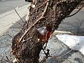 Sap emerging from a cherry tree in Summit NJ.JPG