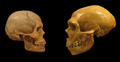 Sapiens neanderthal comparison en blackbackground.png