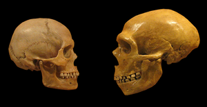 Aquatic ape hypothesis - Neanderthal skull (right) compared with modern human