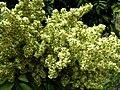 Sapindus saponaria var. saponaria (4832492758).jpg