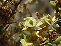 Sarcobatus vermiculatus (5042405448).jpg