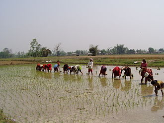 Agriculture in Nepal - Nepalese women planting rice