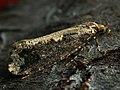 Scardia boletella - Трутовка большая (27372522328).jpg