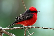 Vermilion flycatcher (male)