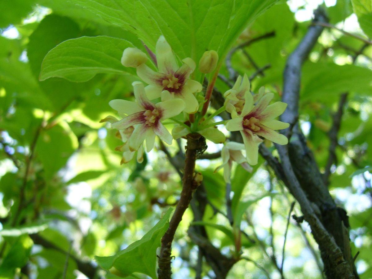 Schisandra chinensis - Wikimedia Commons