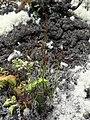 Schizaea fistulosa 54428045.jpg