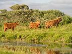 Schotse hooglanders in het Lauwersmeer gebied.jpg