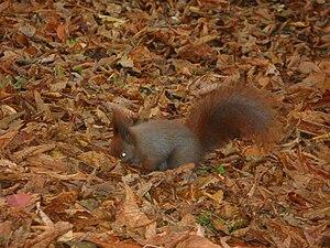 Sciurus vulgaris (Red Squirrel) in Lazienki Wa...