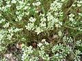 Scleranthus perennis inflorescence (065).jpg