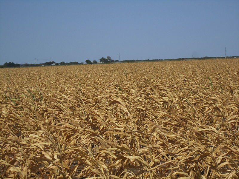 File:Scorched corn fields, Castroville, TX, 2011 IMG 3231.JPG