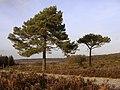 Scots pine on Beaulieu Hilltop Heath, New Forest - geograph.org.uk - 112797.jpg