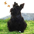 Scottish Terrier02.jpg