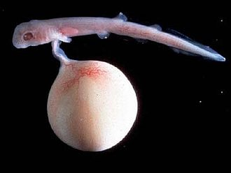 Marine biology - Aristotle recorded that the embryo of <!--a different species shown-->a dogfish was attached by a cord to a kind of placenta (the yolk sac).