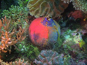 English: This photograph of a Sea Apple at Can...