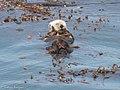 Sea Otter Pt Lobos State Natural Reserve Monterey CA 2017-04-11 11-37-59 (33481814174).jpg