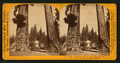 Section of the Big Tree, 30 feet in diameter, and House over the Stump, from the Sentinels, by Lawrence & Houseworth.png