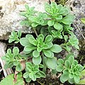 Sedum cepaea plant (03).jpg