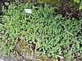 Sedum forsterianum - Botanischer Garten München-Nymphenburg - DSC07683.JPG
