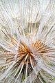 Seed head dandelion.jpg