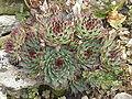 Sempervivum calcareum1.jpg