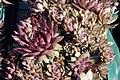 Sempervivum tectorum Red Beauty 6zz.jpg