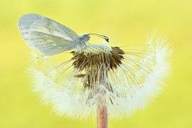 Senfweißling auf Pusteblume.jpg