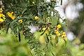 Senna polyphylla 34zz.jpg