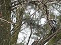 Seoski detlić mužjaci (Dendrocopos syriacus) Syrian Woodpecker males.jpg