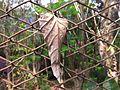 Setangkai daun di Imogiri.jpg