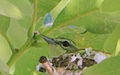 Setophaga cerulea Weldon Spring 2.jpg