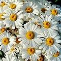 Shasta Daisy, Leucanthemum x superbum - geograph.org.uk - 1419764.jpg