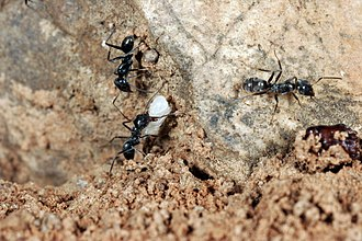 Iridomyrmex - While most Iridomyrmex species are notable for their aggression, some are quite timid. This worker is moving pupae to a safer location instead of attacking intruders after the nest was exposed.