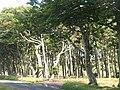 Shelter belt, Mayshiel - geograph.org.uk - 1444282.jpg