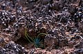 Sheltered from wind & rain, a seedling takes root in mature biological soil crust. (8094885204).jpg