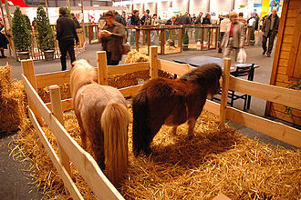 The Shetland pony is one of the smallest pony breeds, but is very strong. Shetlands in Belgium.jpg