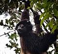 Sifaka, Madagascar (22291301992).jpg